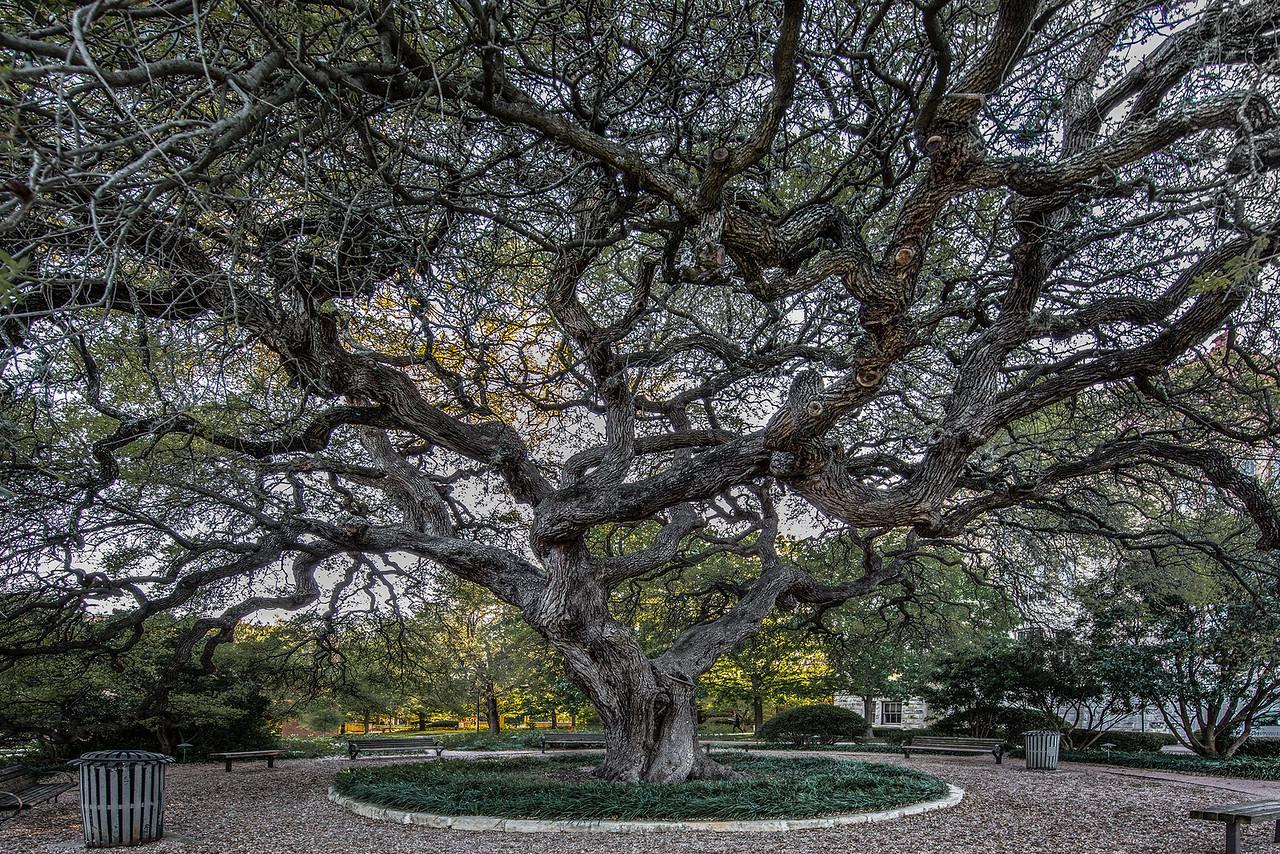 Tree at St. Edward's University in Austin.