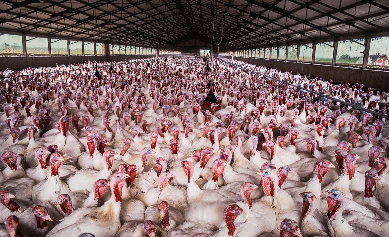 Turkey Farm in Ohio