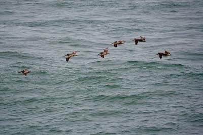 Pelican Wave