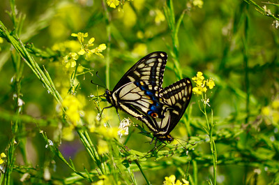 Mating Anise Swallowtails