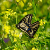 Mating Western Tiger Swallowtails