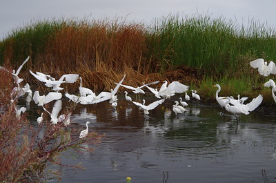 Gathering of Egrets