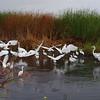 Gathering of Egrets