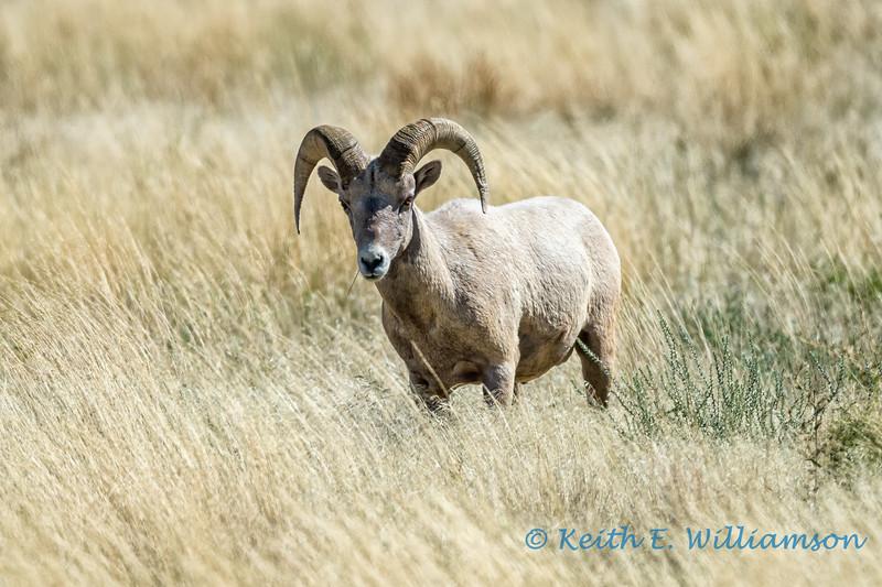 Bighorn Sheep, Bighorn Canyon, Wyoming