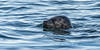 Harbor Seal - 4