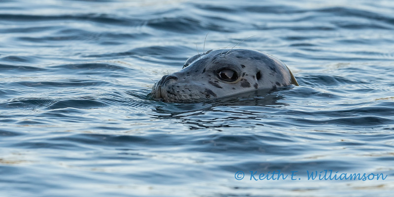 Harbor seal, Deception Pass