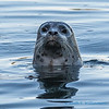 Harbor Seal - 5