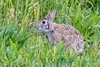Rabbit, about to eat, Skagit Wildlife area
