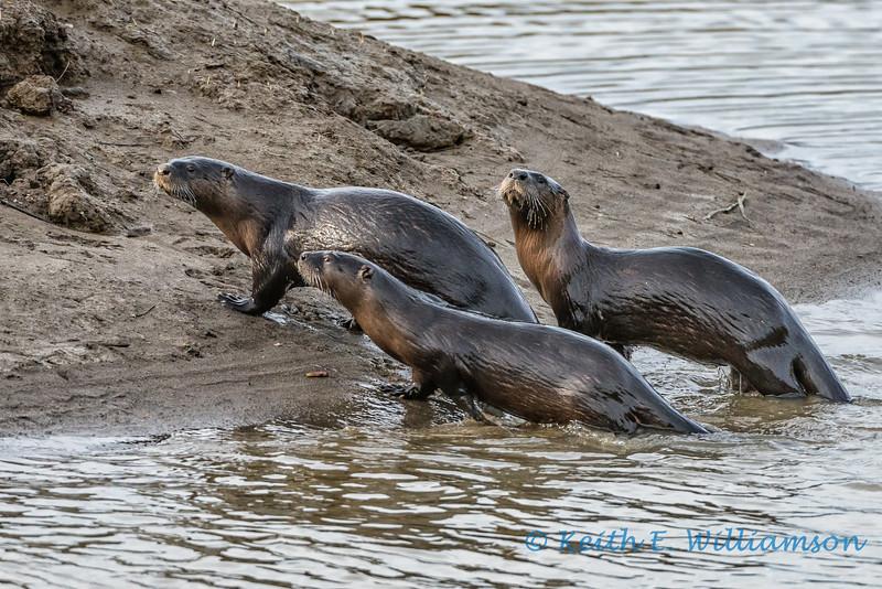 River Otters, Fir Island, Washington