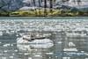 Seals, Kenai Fjords NP