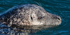 Harbor Seal - 3