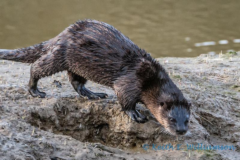 River Otter, Fir Island, Washington