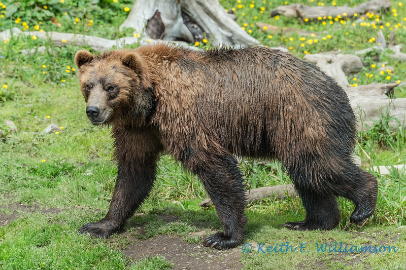Grizzly Bear, Fortress of the Bear, Sitka
