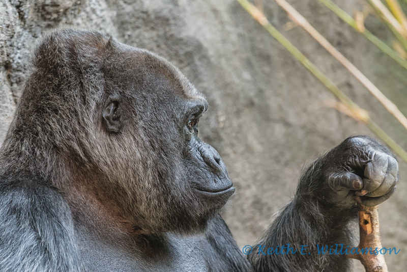 Mountain Gorilla, Woodland Park Zoo, Seattle
