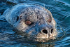 Harbor Seal - 2