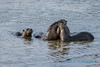 River Otter family, Fir Island, Washington