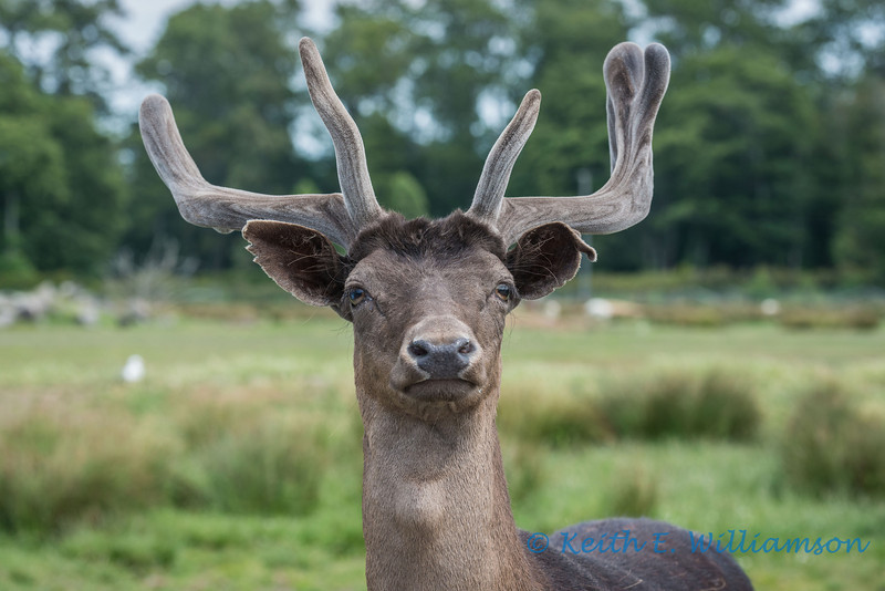 European Fallow Deer, Olympic Game Farm, Sequim, Washington