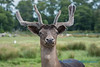European Fallow Deer, Olympic Game Farm, Sequim, Washington