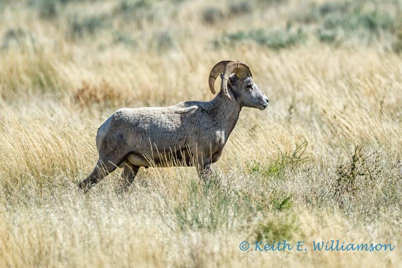 Bighorn Sheep, Bighorn Canyon