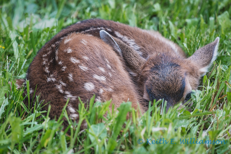 Fawn, waiting for mom