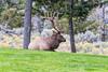 Roosevelt Elk, Yellowstone NP