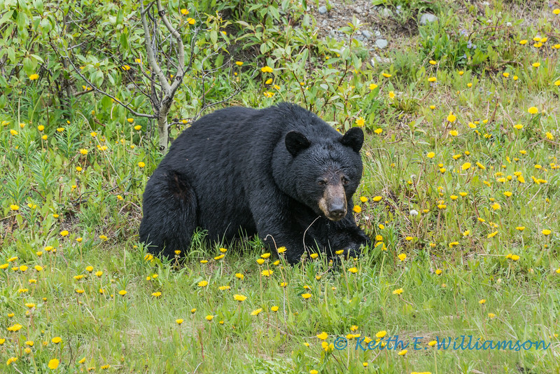 Black Bear, Haines Road, Yukon