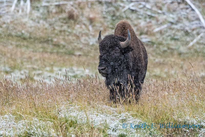 Bison in the snow, Yellowstone NP