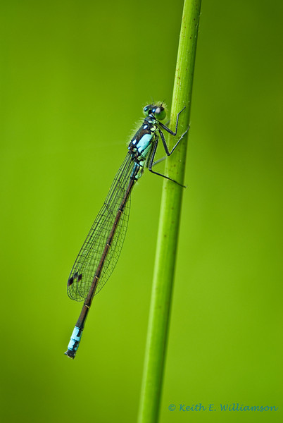 Pacific Forktail Damselfly