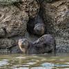 River Otter den, Fir Island
