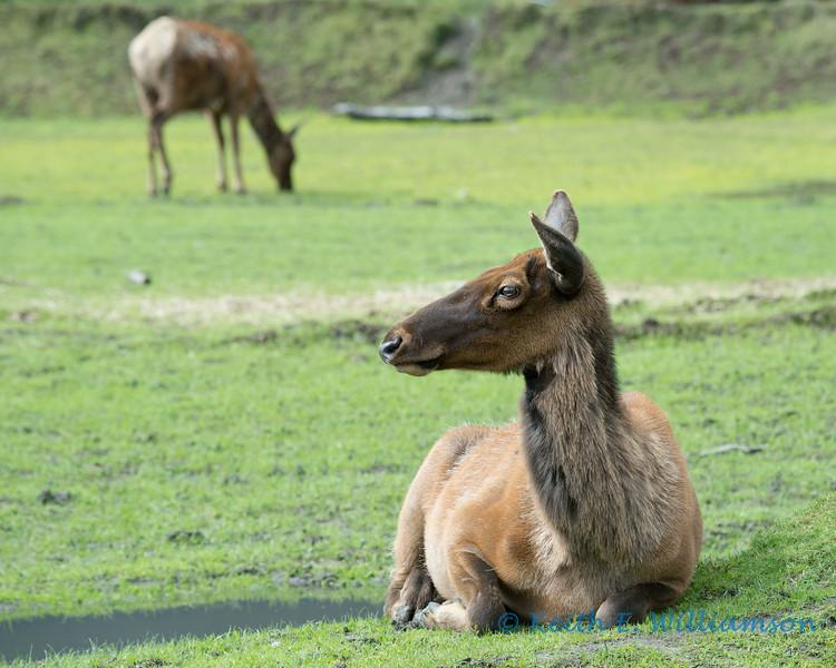 Elk, Alaska Wildlife Conservation Center
