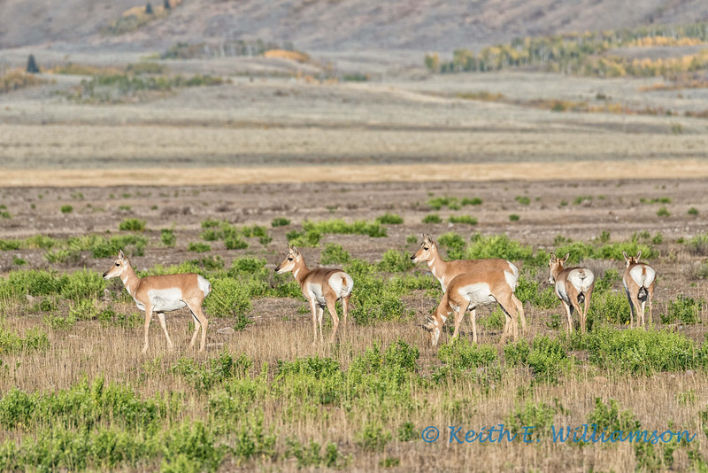 Pronghorns, Morman Row, Grand Teton NP