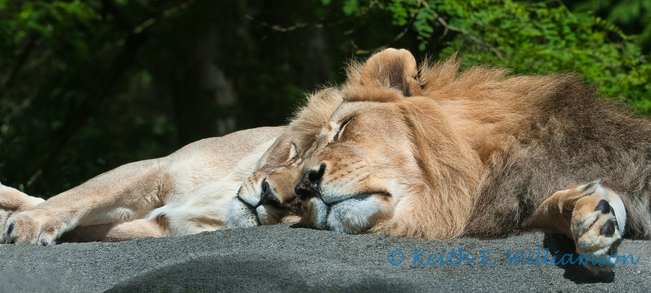 Lions, Woodland Park Zoo, Seattle
