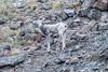 Young bighorn sheep, Mount Washburn, Yellowstone NP