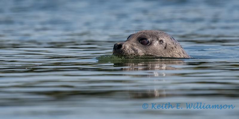 Seal, Skagit Wildlife Area