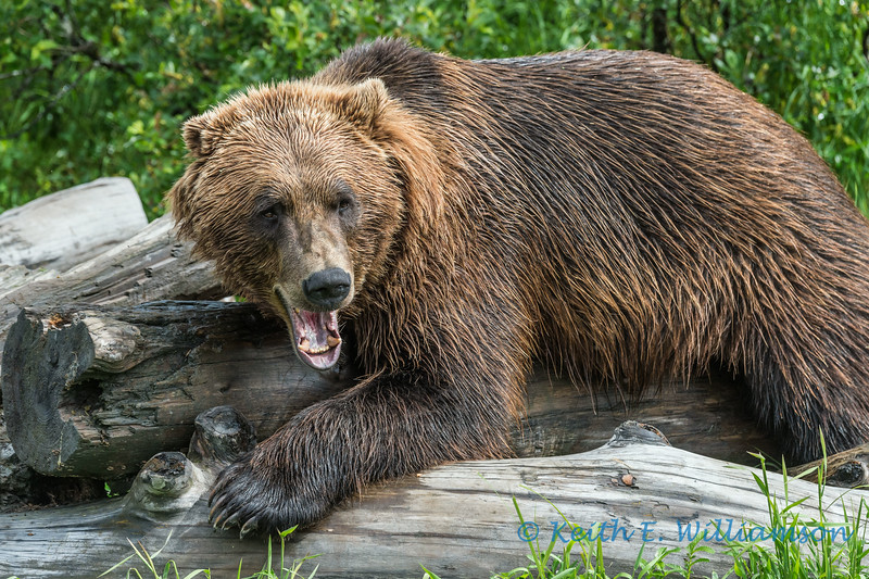 Grizzly, Alaska Wildlife Conservation Center