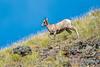 Bighorn Sheep, Mount Washburn, Yellowstone NP