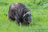 Muskoxen, University of Alaska, Fairbanks