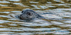 Harbor Seal, Deception Pass (see it in the eye?)