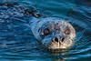 Harbor Seal - 1