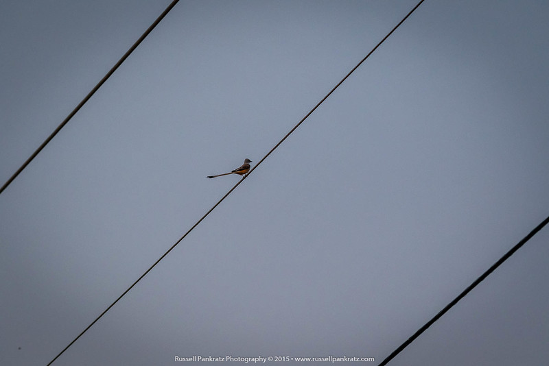 A scissor-tailed fly catcher. Cool boyd.