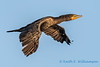 Double crested cormorant - 6