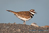 Killdeer, Moses Lake, Washington