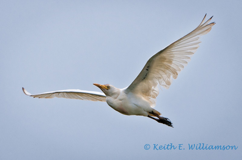 Cattle egret, Hanalei NWR, Kauai