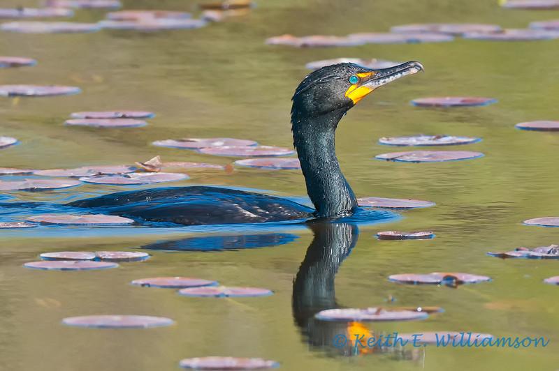 Double-crested Cormorant, Lake Washington