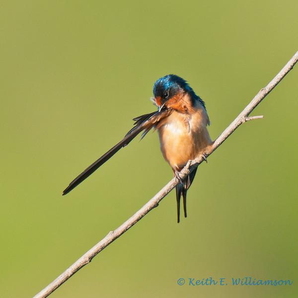Barn swallow preening, Lake Washington