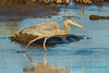 Great Blue Heron, fishing for salmon roe