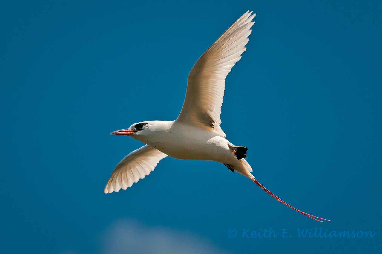 Redtailed Tropic Bird, Kilauea Point NWR, Kauai