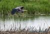 Great Blue Heron, Fir Island - 2