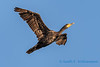 Double crested cormorant - 2