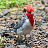 Redcrested cardinal